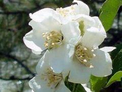 syringa flower 21342648928